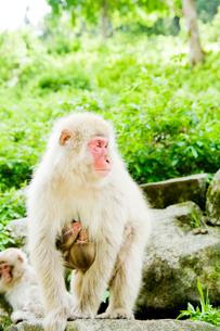 親に抱きついた2匹の赤ちゃん猿の写真素材 [FYI01502549]