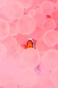 ピンク色のイソギンチャクとハマクマノミの写真素材 [FYI01502567]