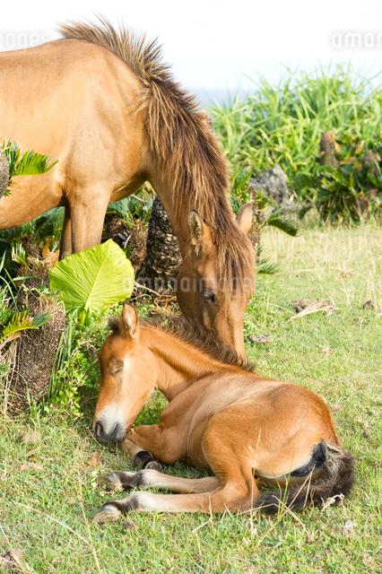 昼寝する与那国馬の子馬の写真素材 [FYI01502568]