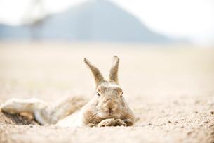 ウサギの写真素材 [FYI01502577]