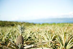 パイナップル畑の写真素材 [FYI01502578]