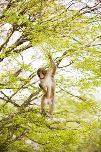 新緑と猿の写真素材 [FYI01502595]