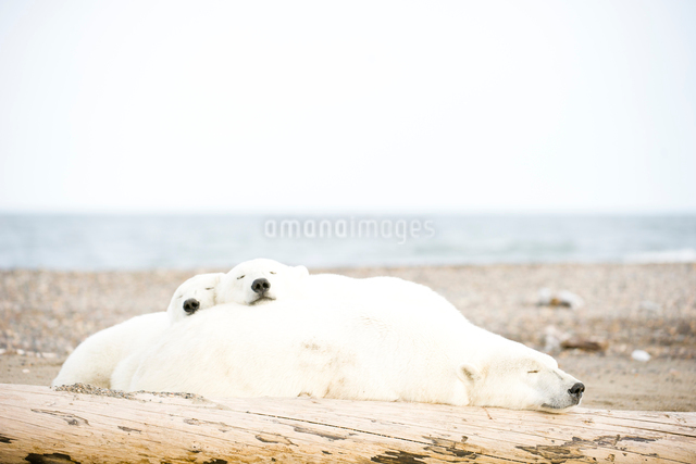 昼寝するシロクマの親子の写真素材 [FYI01502636]