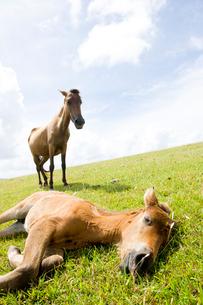 昼寝する与那国馬の子馬の写真素材 [FYI01502644]