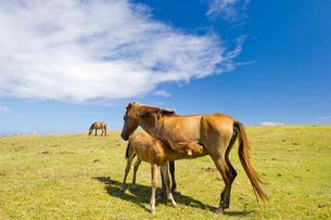 授乳中の与那国馬の写真素材 [FYI01502656]