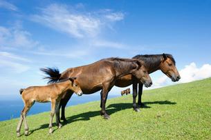青空と草原の御崎馬の写真素材 [FYI01502661]