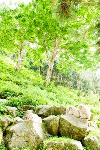 新緑と日本猿の親子の写真素材 [FYI01502689]