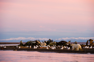 クジラの死骸とシロクマの写真素材 [FYI01502694]