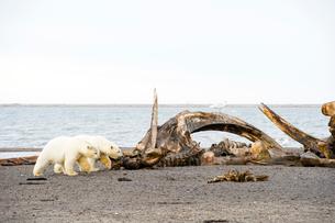 クジラの死骸と2頭のシロクマの写真素材 [FYI01502713]