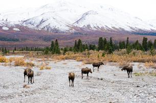 ムースの群れの写真素材 [FYI01502720]
