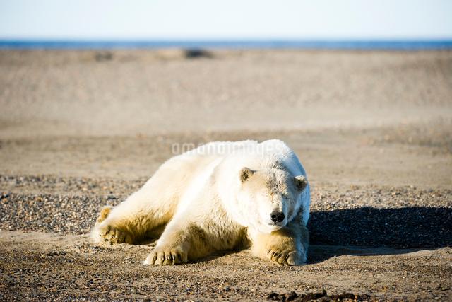昼寝するシロクマの写真素材 [FYI01502741]
