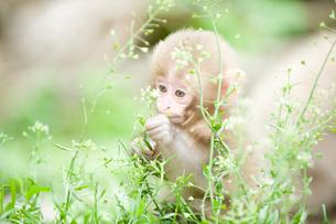 赤ちゃん猿の写真素材 [FYI01502770]