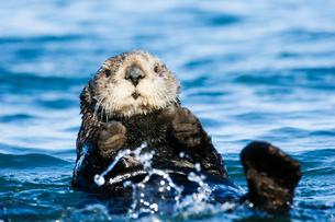 手を挙げて泳ぐラッコの写真素材 [FYI01502774]