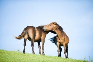 2頭の御崎馬の写真素材 [FYI01502808]