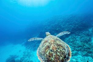 泳ぐカメを真上からの写真素材 [FYI01502826]