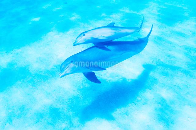 青い海を泳ぐイルカの写真素材 [FYI01502889]