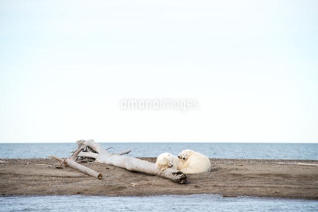 昼寝するシロクマの親子の写真素材 [FYI01502890]