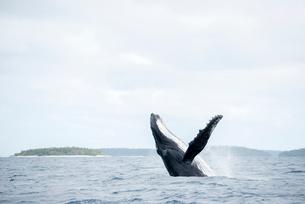 ブリーチングするザトウクジラの写真素材 [FYI01502912]