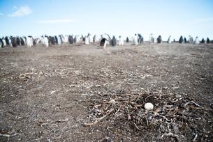 ジェンツーペンギンの卵の写真素材 [FYI01502946]