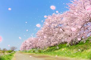 桜並木と道と舞い上がる花びらの写真素材 [FYI01502995]