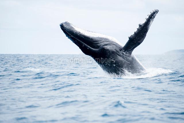 ブリーチングするザトウクジラの写真素材 [FYI01503004]