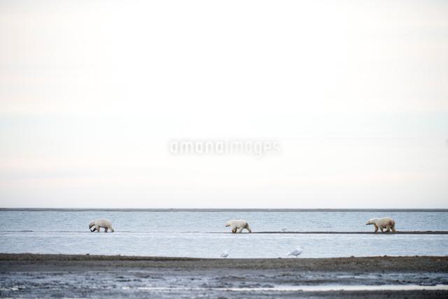 歩く3頭のシロクマの写真素材 [FYI01503014]