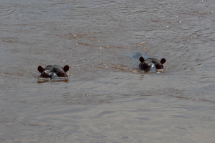 マサイマラのカバの写真素材 [FYI01503078]