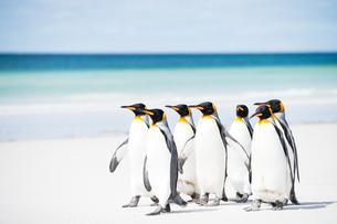 砂浜を歩くキングペンギンの群れの写真素材 [FYI01503189]