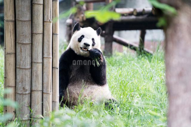 笹を食べるパンダの写真素材 [FYI01503295]