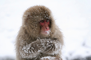 地獄谷野猿公苑のニホンザルの写真素材 [FYI01503348]