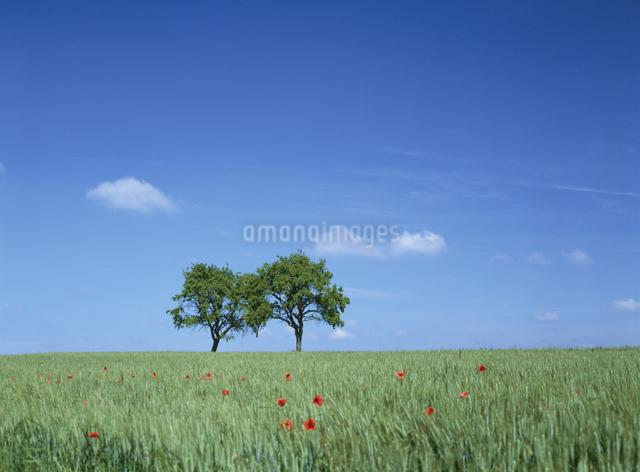 草原に立つ2本の木の写真素材 [FYI01503375]