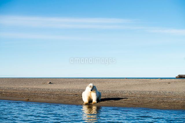 座るシロクマの写真素材 [FYI01503403]