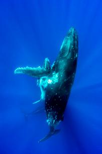 ザトウクジラの親子の写真素材 [FYI01503563]
