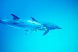 泳ぐタイセイヨウマダライルカの写真素材 [FYI01503595]