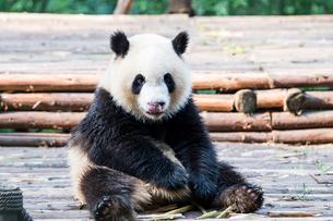 1頭のパンダの写真素材 [FYI01503644]