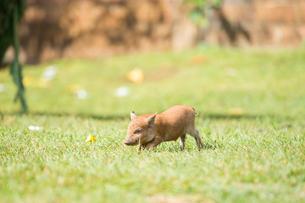 子豚の写真素材 [FYI01503658]