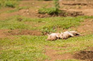2頭の子豚の写真素材 [FYI01503714]