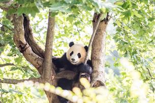 木に登る1頭のパンダの写真素材 [FYI01503762]