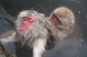 地獄谷野猿公苑のニホンザルの写真素材 [FYI01503785]