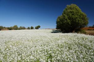 白い花畑と木の写真素材 [FYI01503791]