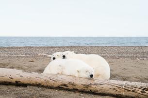 昼寝するシロクマの親子の写真素材 [FYI01503825]