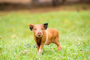 子豚の写真素材 [FYI01503872]