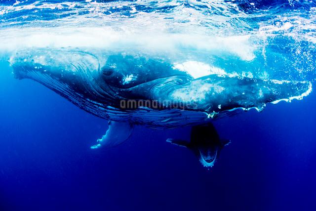 親子のザトウクジラの写真素材 [FYI01503942]