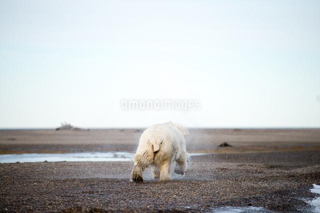 海から上がったシロクマの後ろ姿の写真素材 [FYI01503956]