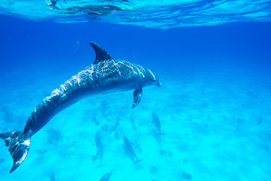 青い海を泳ぐイルカの群れの写真素材 [FYI01503963]