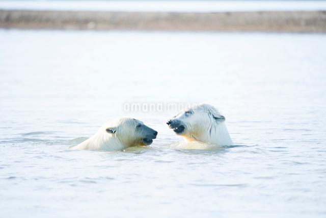 泳ぐ2頭のシロクマの写真素材 [FYI01503972]
