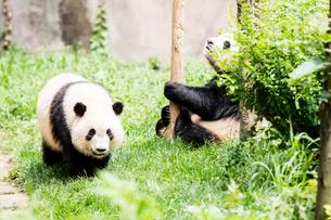 2頭のパンダの写真素材 [FYI01503979]