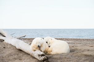 昼寝するシロクマの親子の写真素材 [FYI01503998]