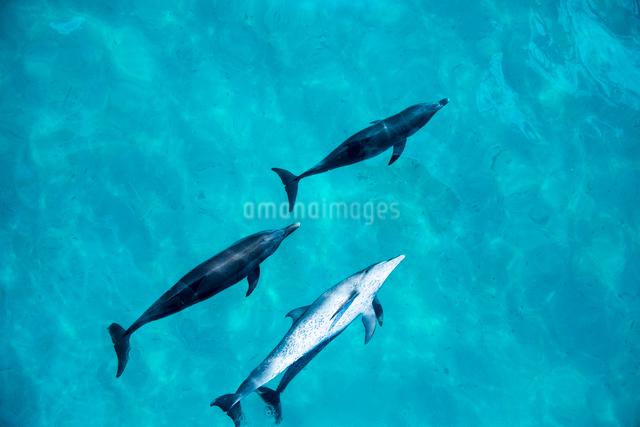 船の上から見るタイセイヨウマダライルカの写真素材 [FYI01504042]