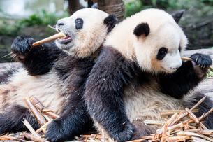 笹を食べる2頭のパンダの写真素材 [FYI01504053]